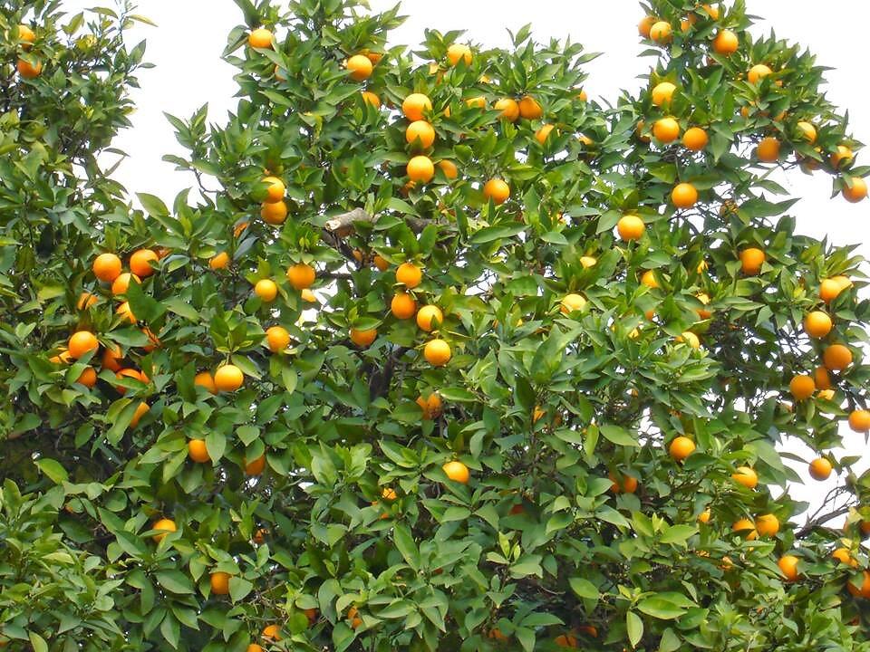Apelsinid