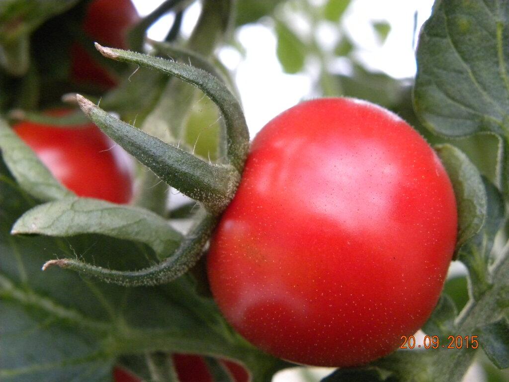 Sügisene tomat