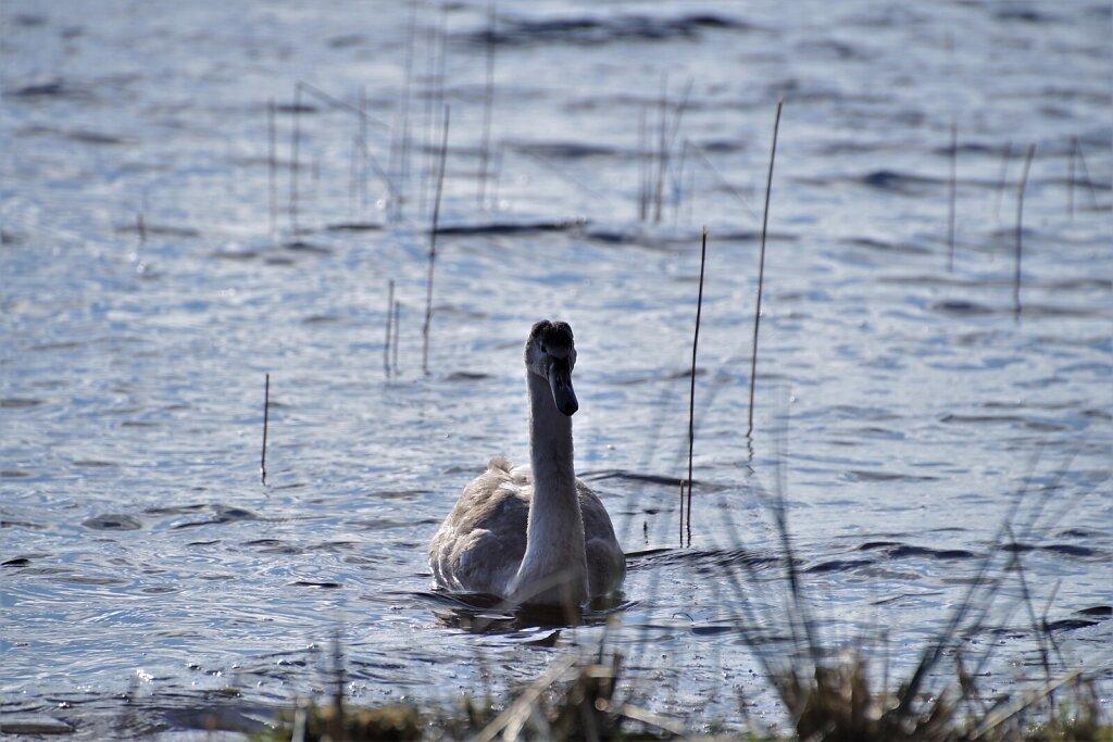 Luik Klooga järvel ujumas